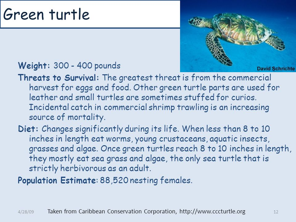 Green turtle Weight: 300 - 400 pounds Threats to Survival: The greatest threat is from the commercial harvest for eggs and food. Other green turtle pa