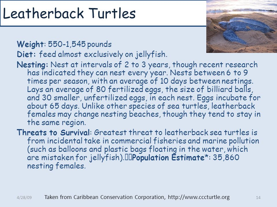 Leatherback Turtles Weight: 550-1,545 pounds Diet: feed almost exclusively on jellyfish. Nesting: Nest at intervals of 2 to 3 years, though recent res