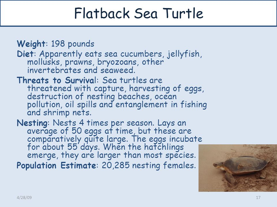 Flatback Sea Turtle Weight: 198 pounds Diet: Apparently eats sea cucumbers, jellyfish, mollusks, prawns, bryozoans, other invertebrates and seaweed. T