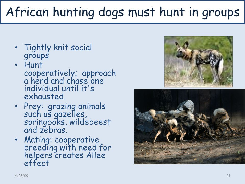African hunting dogs must hunt in groups Tightly knit social groups Hunt cooperatively; approach a herd and chase one individual until it's exhausted.