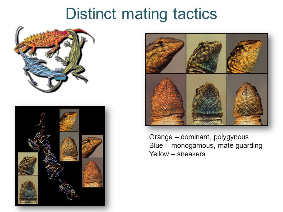 Distinct mating tactics Orange – dominant, polygynous Blue – monogamous, mate guarding Yellow – sneakers
