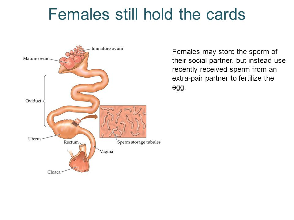 Females still hold the cards Females may store the sperm of their social partner, but instead use recently received sperm from an extra-pair partner to fertilize the egg.