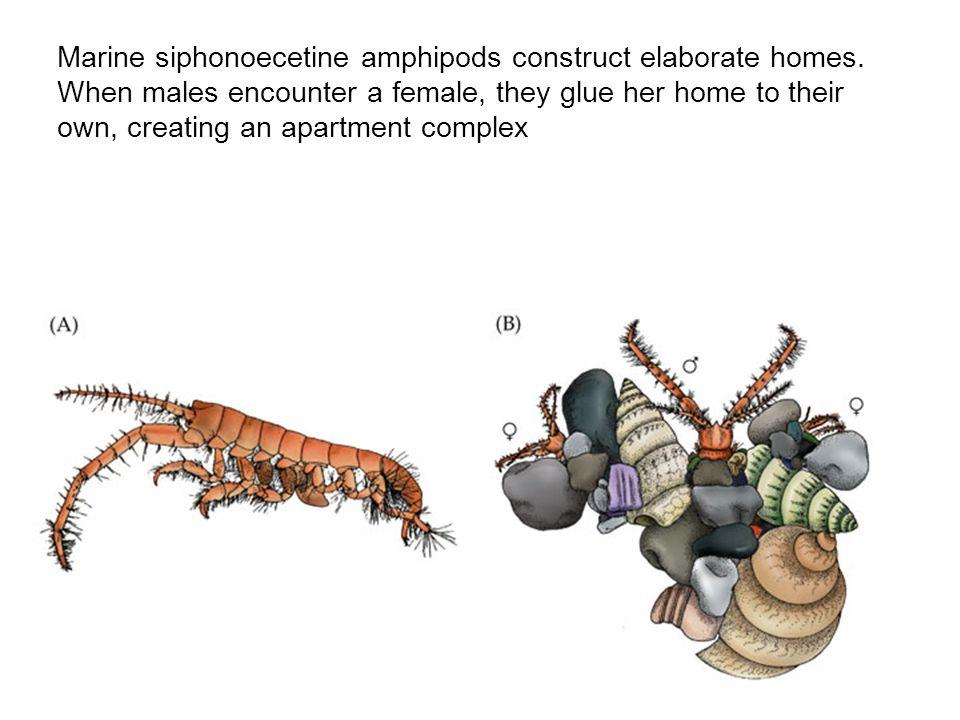 Marine siphonoecetine amphipods construct elaborate homes.