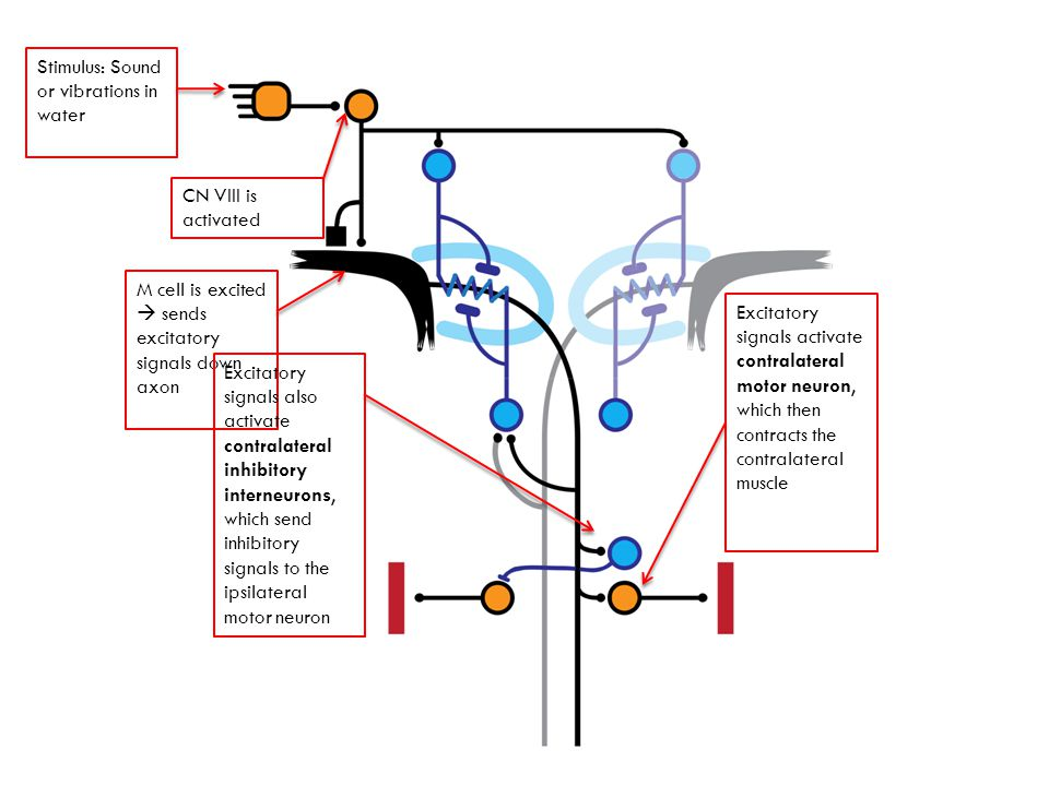 Stimulus: Sound or vibrations in water CN VIII is activated M cell is excited sends excitatory signals down axon Excitatory signals activate contralateral motor neuron, which then contracts the contralateral muscle Excitatory signals also activate contralateral inhibitory interneurons, which send inhibitory signals to the ipsilateral motor neuron