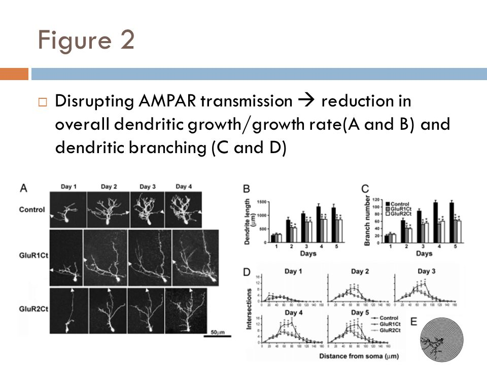 Figure 2 Disrupting AMPAR transmission reduction in overall dendritic growth/growth rate(A and B) and dendritic branching (C and D)