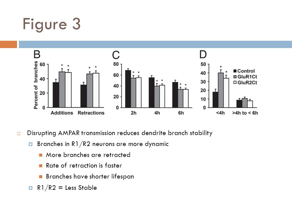 Figure 3 Disrupting AMPAR transmission reduces dendrite branch stability Branches in R1/R2 neurons are more dynamic More branches are retracted Rate of retraction is faster Branches have shorter lifespan R1/R2 = Less Stable