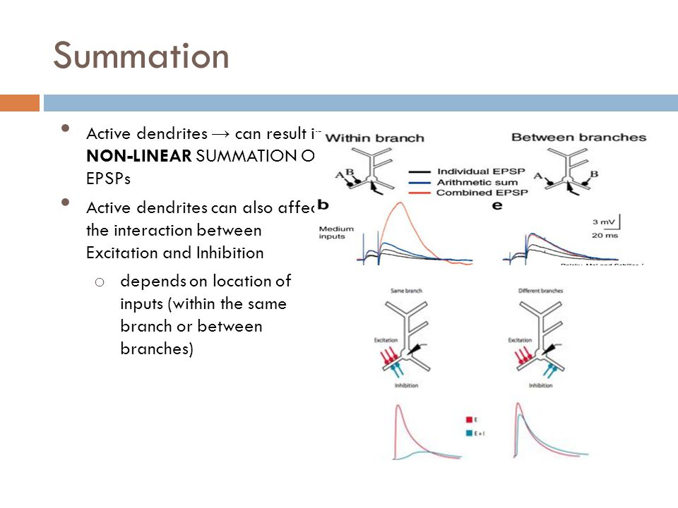 Summation Active dendrites can result in NON-LINEAR SUMMATION OF EPSPs Active dendrites can also affect the interaction between Excitation and Inhibition o depends on location of inputs (within the same branch or between branches)