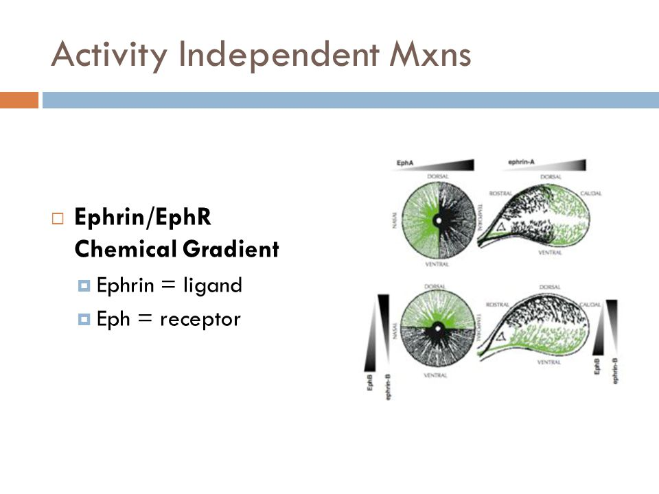 Activity Independent Mxns Ephrin/EphR Chemical Gradient Ephrin = ligand Eph = receptor