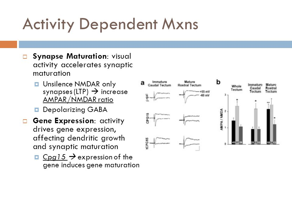 Activity Dependent Mxns Synapse Maturation: visual activity accelerates synaptic maturation Unsilence NMDAR only synapses (LTP) increase AMPAR/NMDAR ratio Depolarizing GABA Gene Expression: activity drives gene expression, affecting dendritic growth and synaptic maturation Cpg15 expression of the gene induces gene maturation