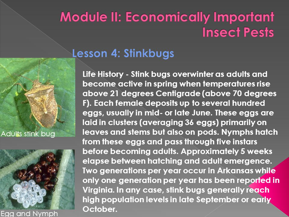 Life History - Stink bugs overwinter as adults and become active in spring when temperatures rise above 21 degrees Centigrade (above 70 degrees F).