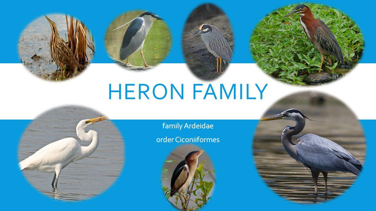 HERON FAMILY family Ardeidae order Ciconiiformes