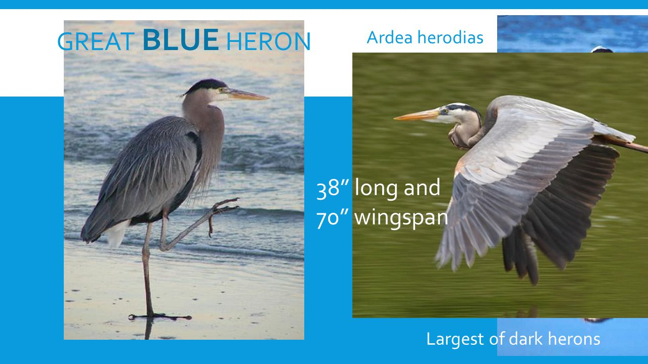GREAT BLUE HERON 38 long and 70 wingspan Largest of dark herons Ardea herodias