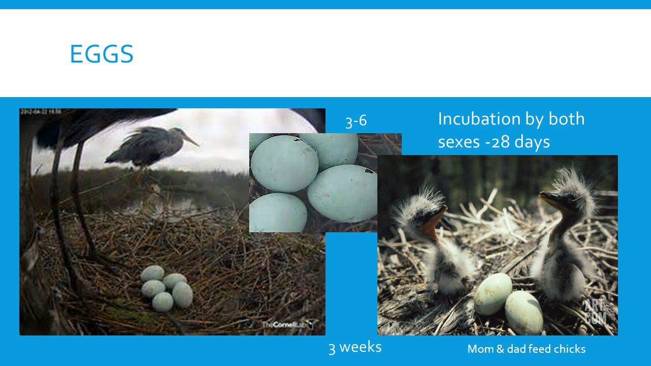 EGGS Incubation by both sexes -28 days 3-6 3 weeks Mom & dad feed chicks