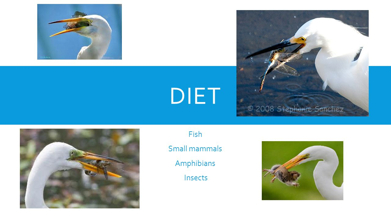 DIET Fish Small mammals Amphibians Insects