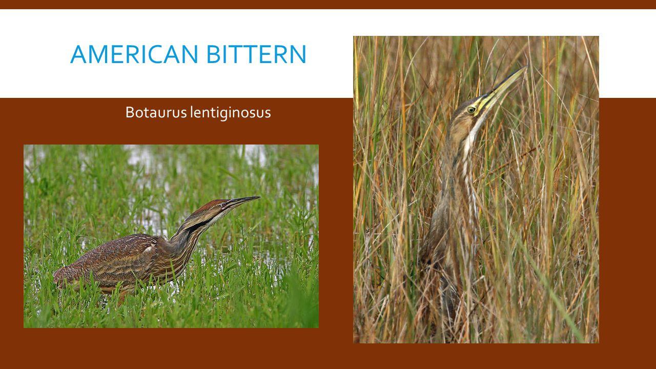 AMERICAN BITTERN Botaurus lentiginosus