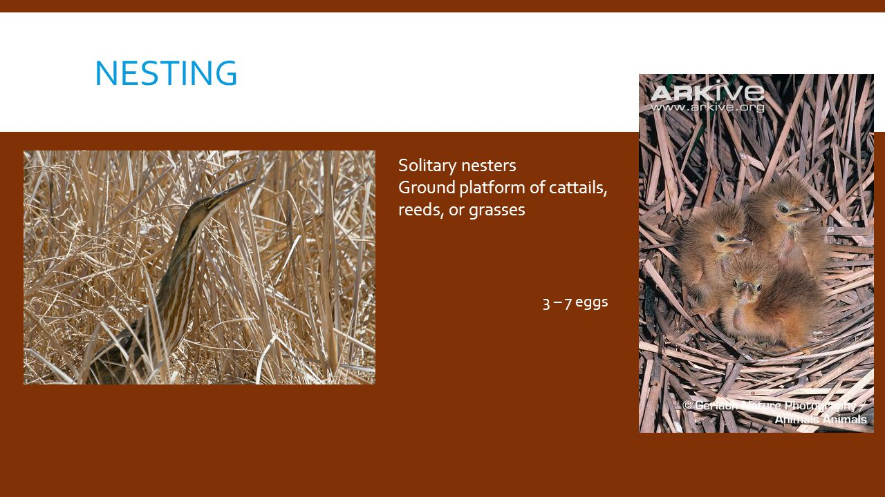 NESTING Solitary nesters Ground platform of cattails, reeds, or grasses 3 – 7 eggs