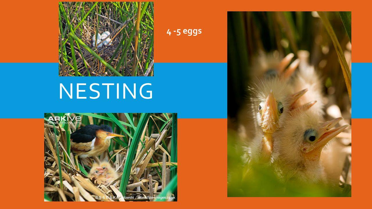 NESTING 4 -5 eggs