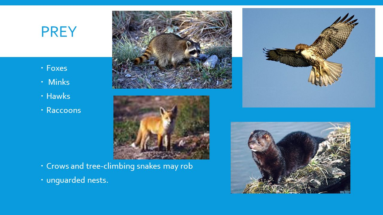 PREY Foxes Minks Hawks Raccoons Crows and tree-climbing snakes may rob unguarded nests.
