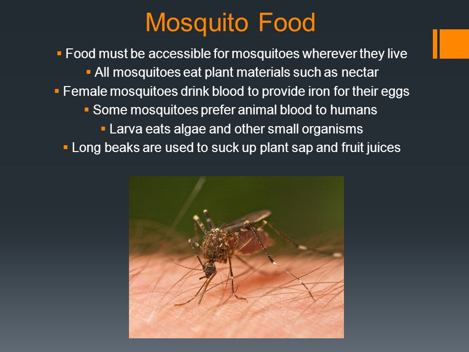 Mosquito Food Food must be accessible for mosquitoes wherever they live All mosquitoes eat plant materials such as nectar Female mosquitoes drink blood to provide iron for their eggs Some mosquitoes prefer animal blood to humans Larva eats algae and other small organisms Long beaks are used to suck up plant sap and fruit juices