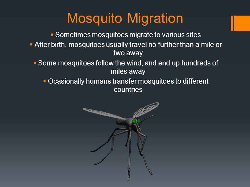 Mosquito Migration Sometimes mosquitoes migrate to various sites After birth, mosquitoes usually travel no further than a mile or two away Some mosquitoes follow the wind, and end up hundreds of miles away Ocasionally humans transfer mosquitoes to different countries