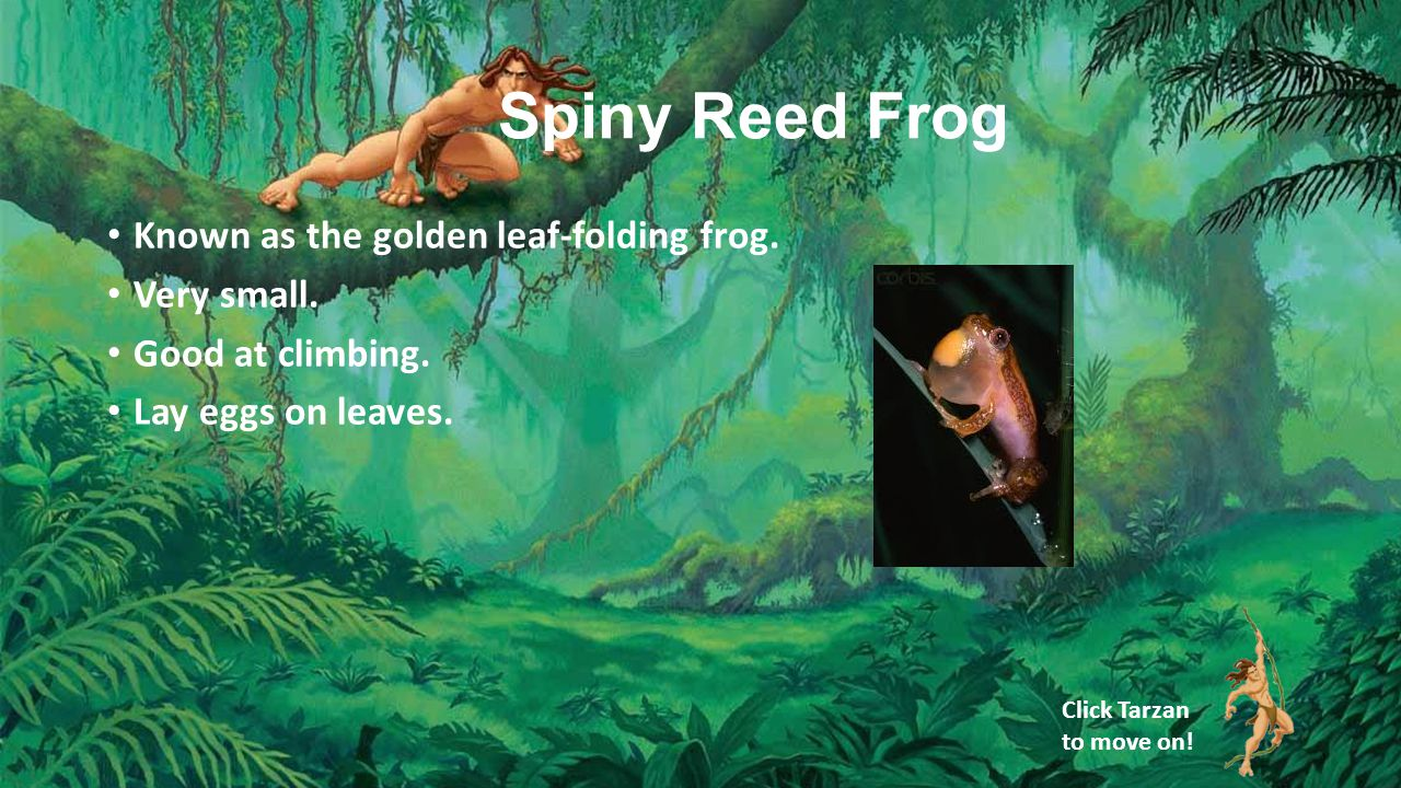 Spiny Reed Frog Known as the golden leaf-folding frog.