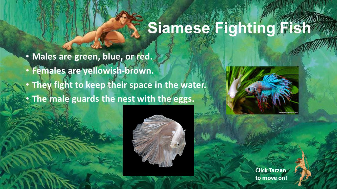 Siamese Fighting Fish Males are green, blue, or red.