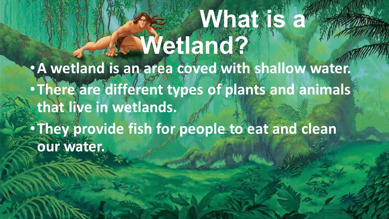 What is a Wetland. A wetland is an area coved with shallow water.