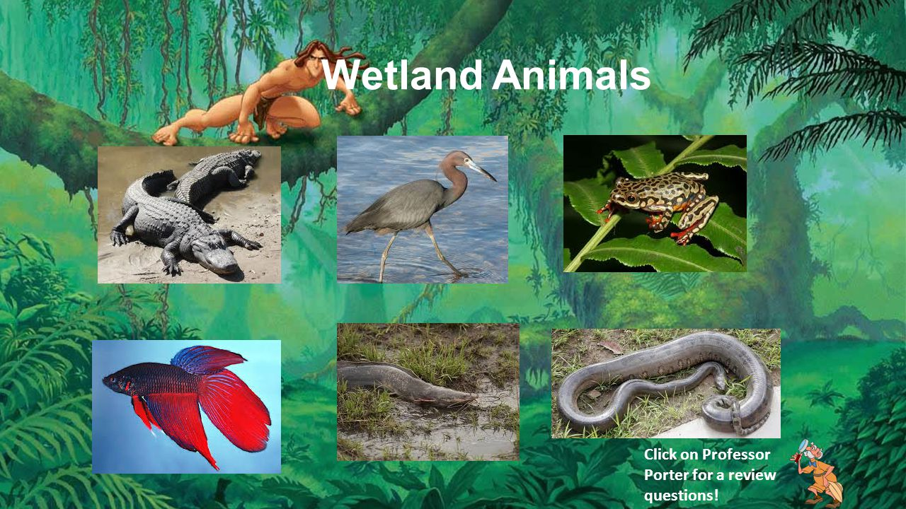 Wetland Animals Click on Professor Porter for a review questions!
