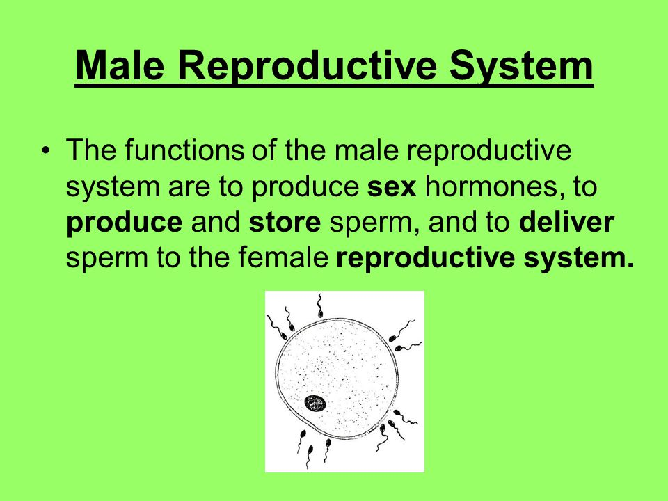 Male Reproductive System The functions of the male reproductive system are to produce sex hormones, to produce and store sperm, and to deliver sperm to the female reproductive system.