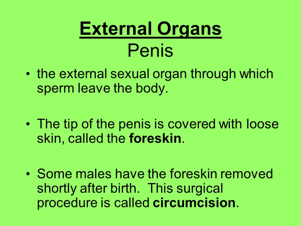 External Organs Penis the external sexual organ through which sperm leave the body.