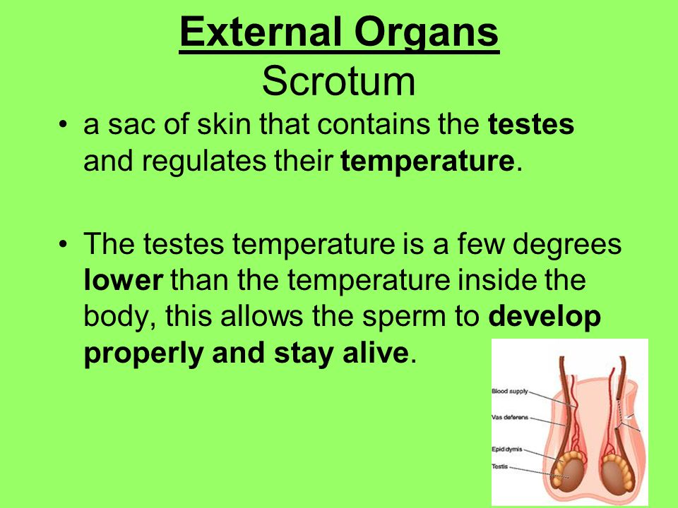 External Organs Scrotum a sac of skin that contains the testes and regulates their temperature.