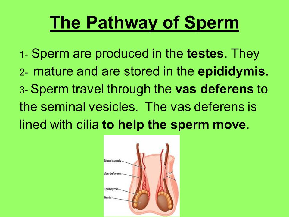The Pathway of Sperm 1- Sperm are produced in the testes.