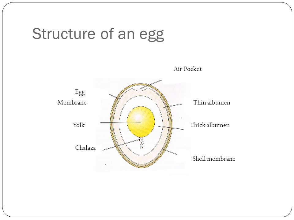 Structure of an egg Air Pocket Egg Membrane Thin albumen Yolk Thick albumen Chalaza Shell membrane