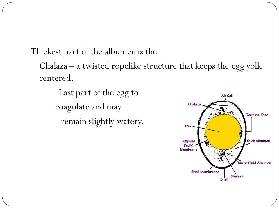 Thickest part of the albumen is the Chalaza – a twisted ropelike structure that keeps the egg yolk centered. Last part of the egg to coagulate and may
