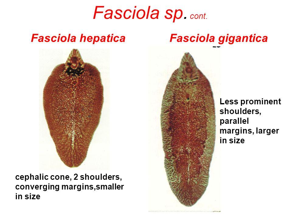 Fasciola hepatica Fasciola gigantica cephalic cone, 2 shoulders, converging margins,smaller in size Less prominent shoulders, parallel margins, larger