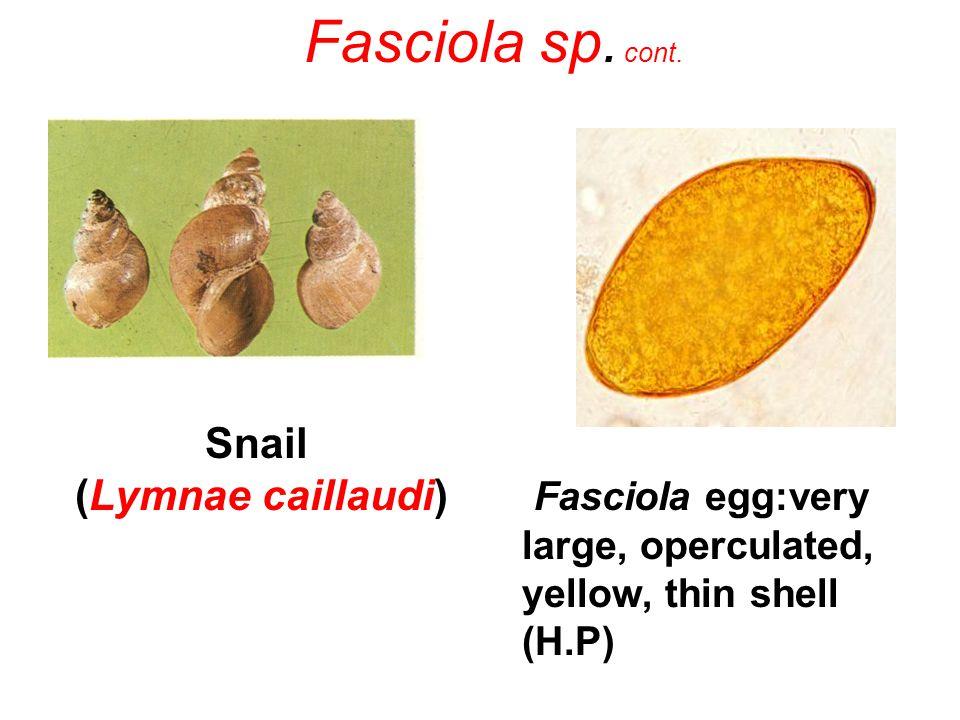 Snail (Lymnae caillaudi) Fasciola egg:very large, operculated, yellow, thin shell (H.P) Fasciola sp. cont.