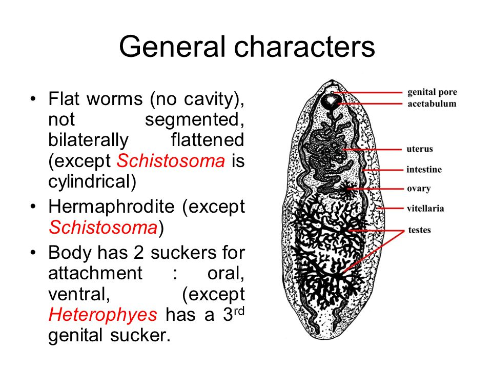 General characters Life cycle show sexual phase (defenitive host) and asexual phase (intermediate host) Require one or more intermediate host 1 st intermediate host is a snail.