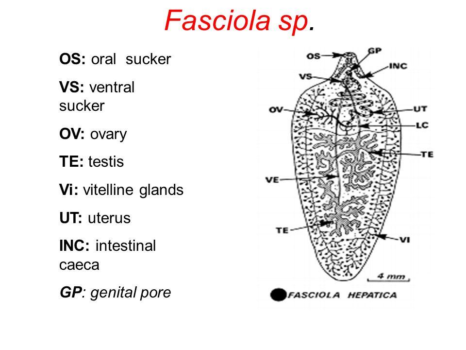 OS: oral sucker VS: ventral sucker OV: ovary TE: testis Vi: vitelline glands UT: uterus INC: intestinal caeca GP: genital pore Fasciola sp.