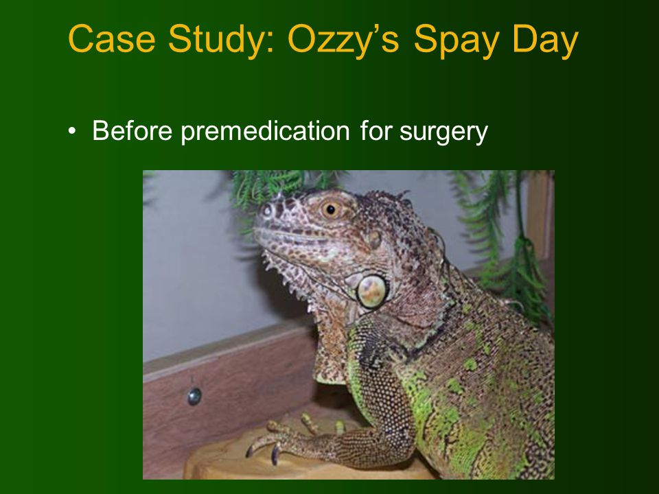 Case Study: Ozzys Spay Day Before premedication for surgery