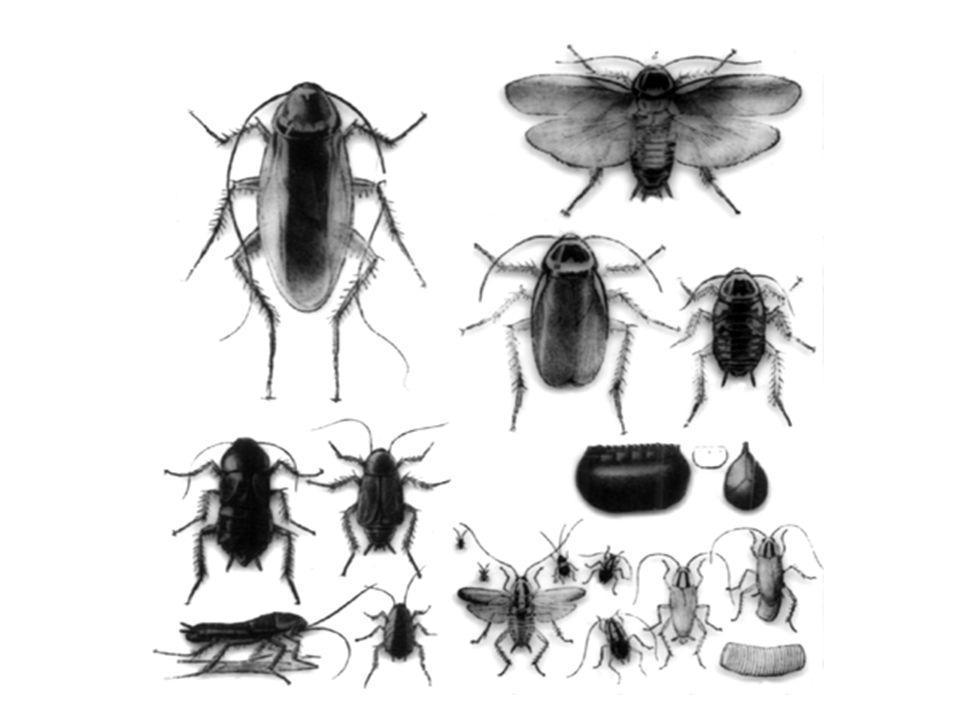 Cockroaches Order Blattaria –3,500 species worldwide –55 species in U.S.