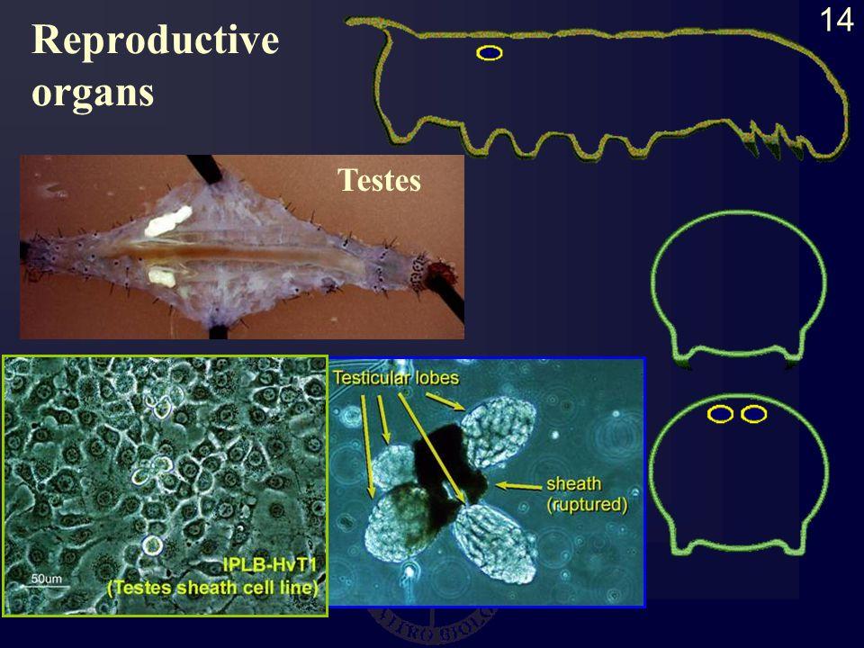 14 Testes Reproductive organs