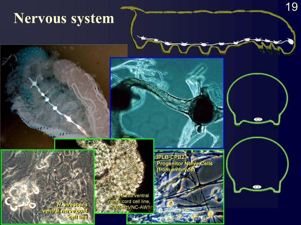 19 Nervous system