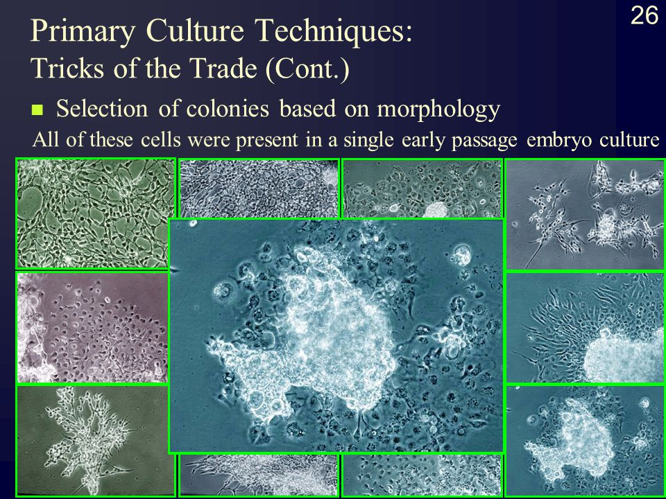26 Primary Culture Techniques: Tricks of the Trade (Cont.) Selection of colonies based on morphology All of these cells were present in a single early passage embryo culture