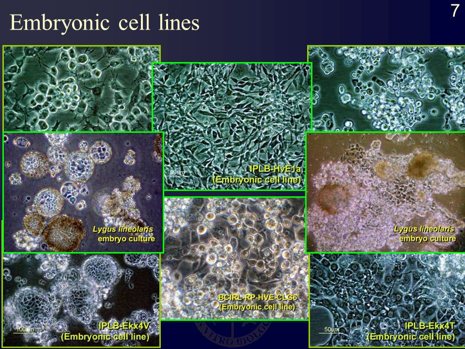 7 Embryonic cell lines