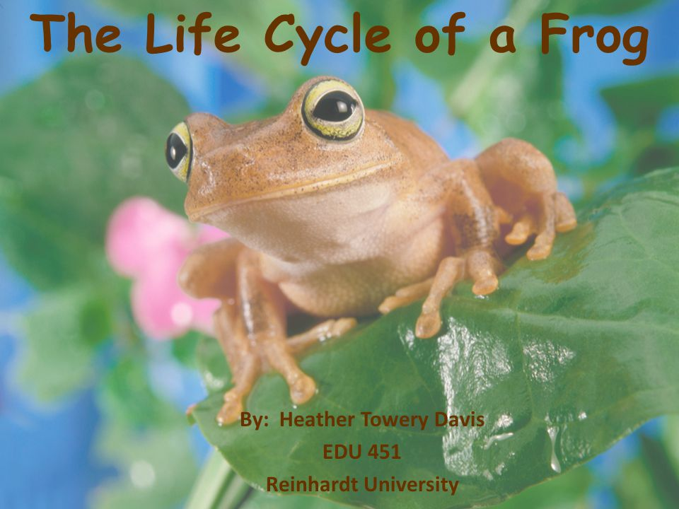 The Life Cycle of a Frog By: Heather Towery Davis EDU 451 Reinhardt University