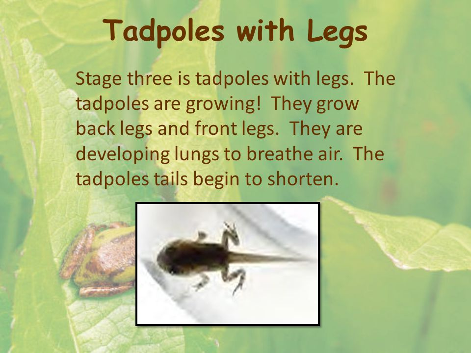 Tadpoles with Legs Stage three is tadpoles with legs.