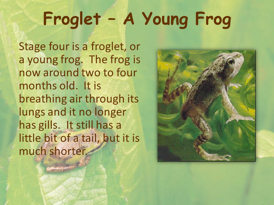 Froglet – A Young Frog Stage four is a froglet, or a young frog. The frog is now around two to four months old. It is breathing air through its lungs