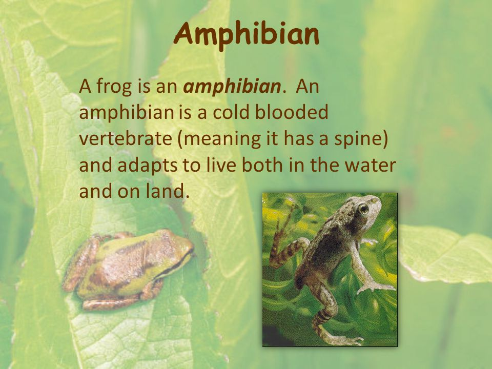Amphibian A frog is an amphibian. An amphibian is a cold blooded vertebrate (meaning it has a spine) and adapts to live both in the water and on land.
