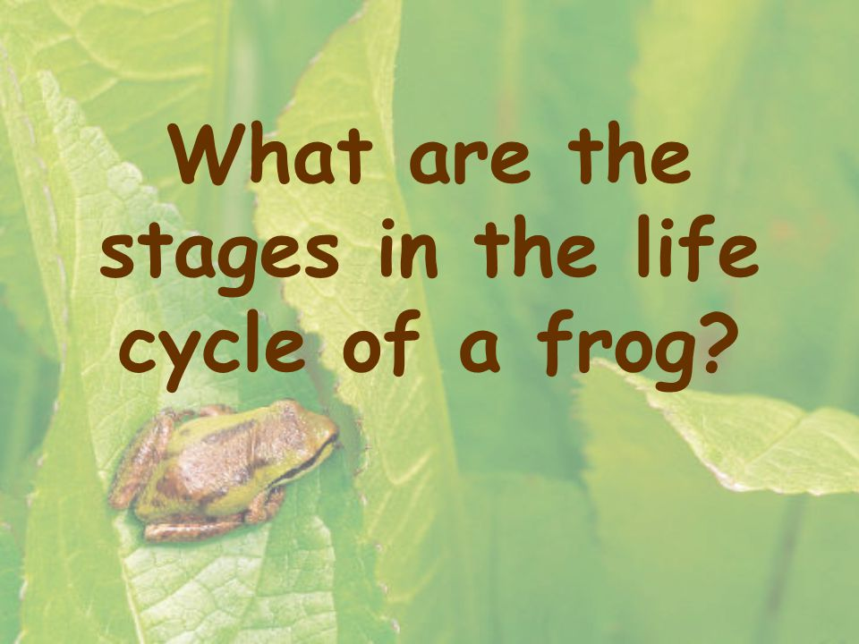 What are the stages in the life cycle of a frog?