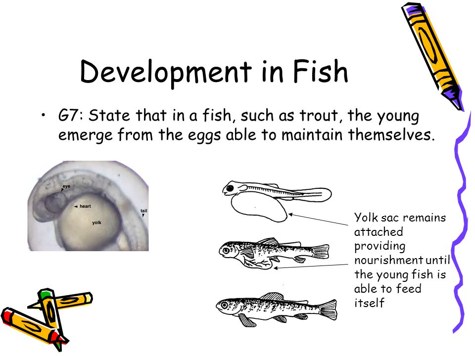 Development in Fish G7: State that in a fish, such as trout, the young emerge from the eggs able to maintain themselves. Yolk sac remains attached pro